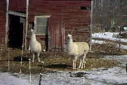 Two llamas on a farm in Bennington, Vermont.  Sean Puckett, 2003